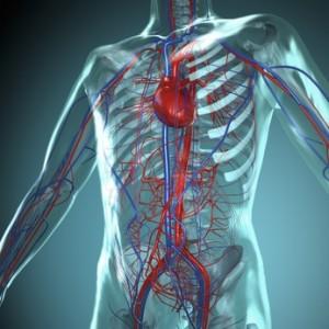 Anatomie Modell Kreislauf