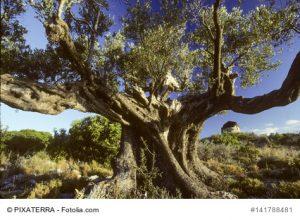 Alter, knorriger Olivenbaum