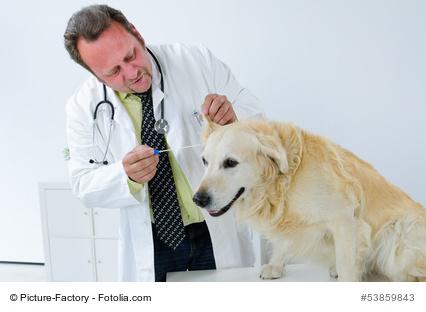 Tierarzt untersucht Ohr des Hundes