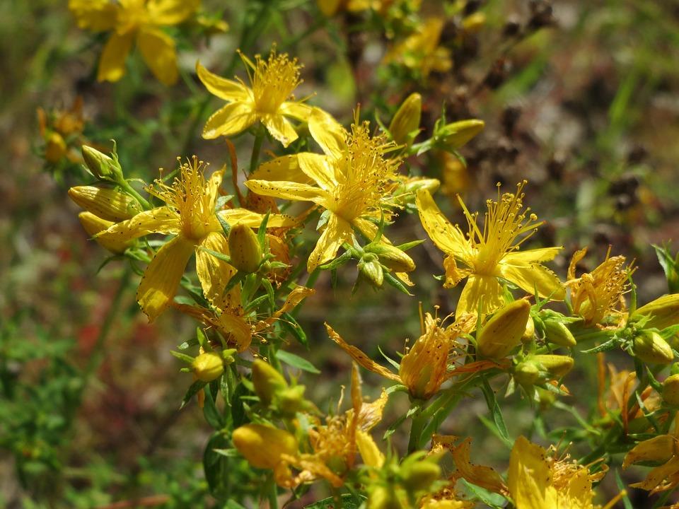 Johanniskrautblüten