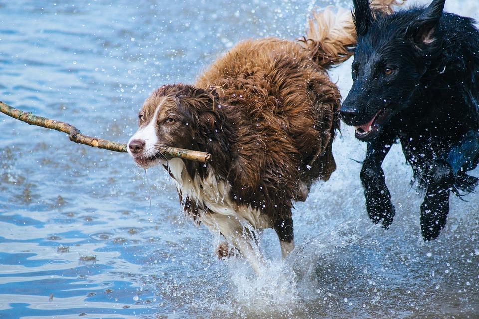 Hunde toben im Wasser