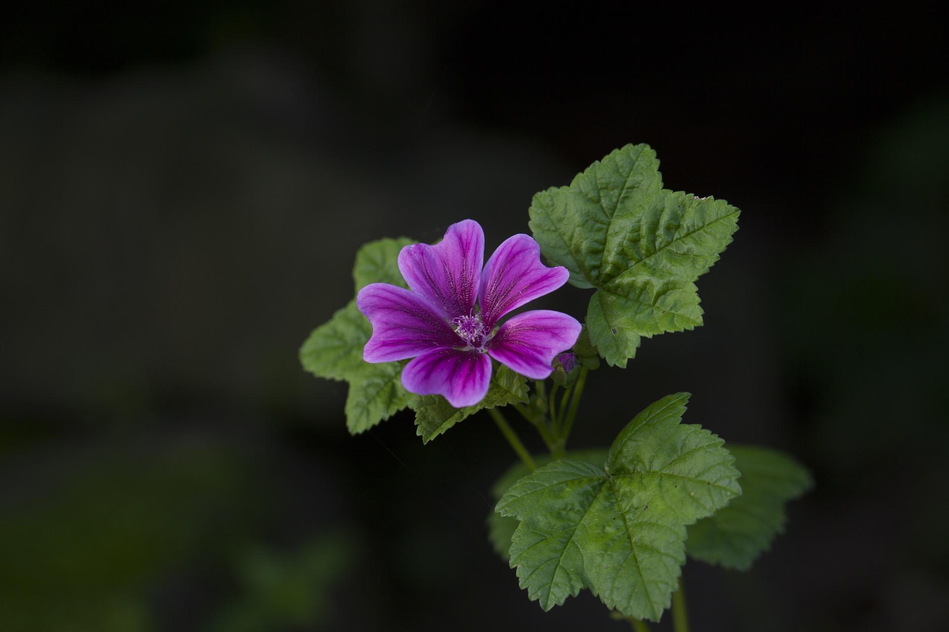 Blüte einer Wilden Malve
