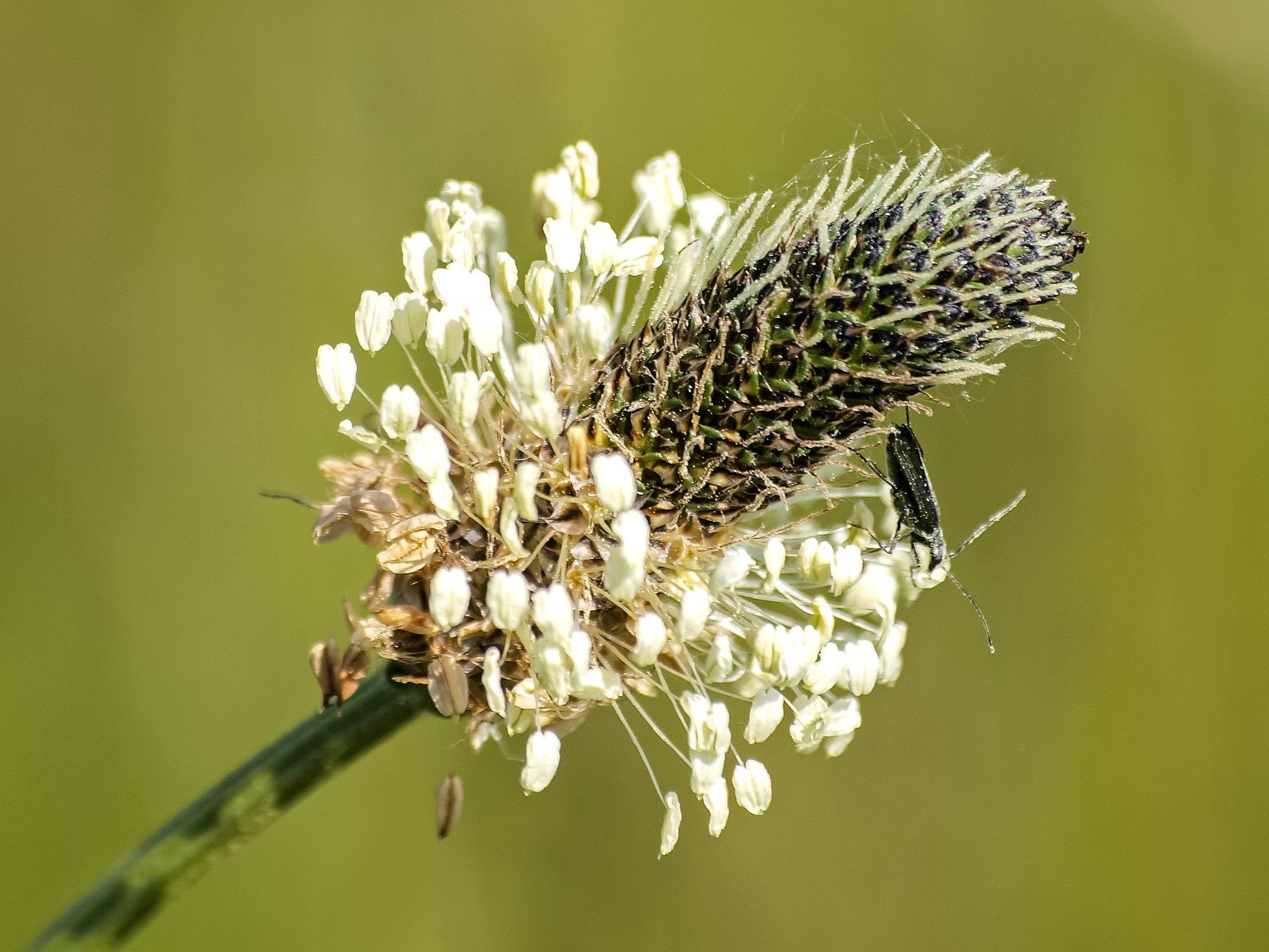 Spitzwegerich Blütenstand