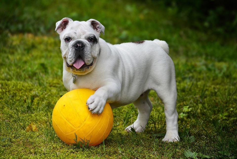 Bulldoggen gehören zur Risikogruppe für Magendrehungen