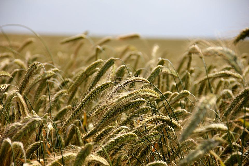 Roggen: Getreidefeld