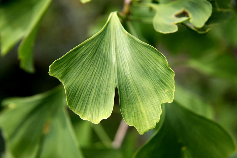 Blatt eines Ginkgo-Baums