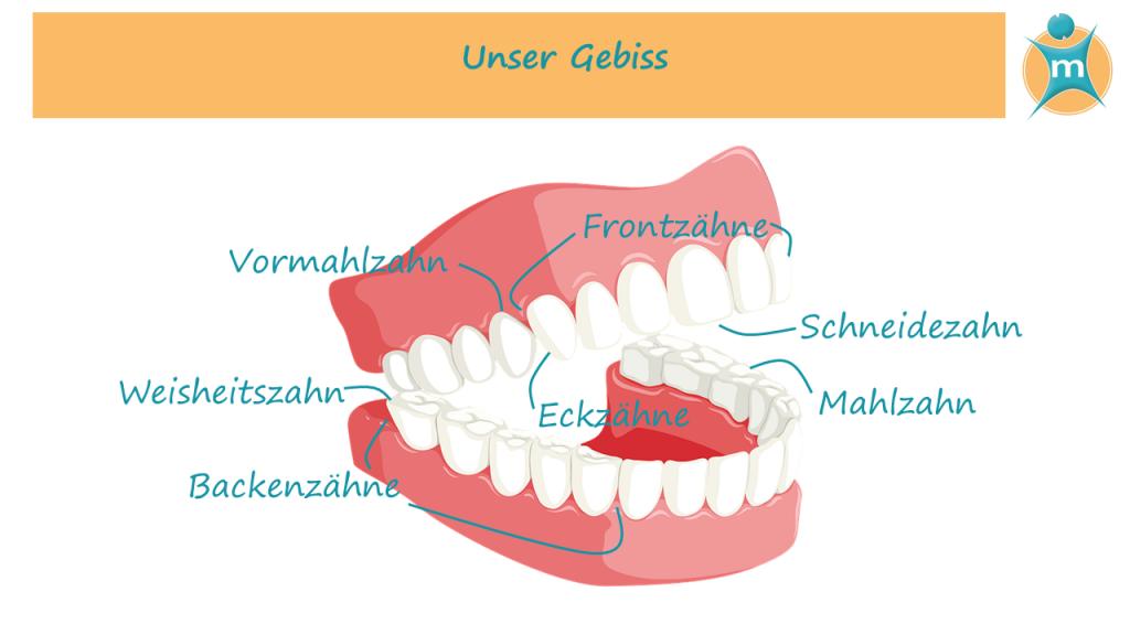 Unsere Zähne