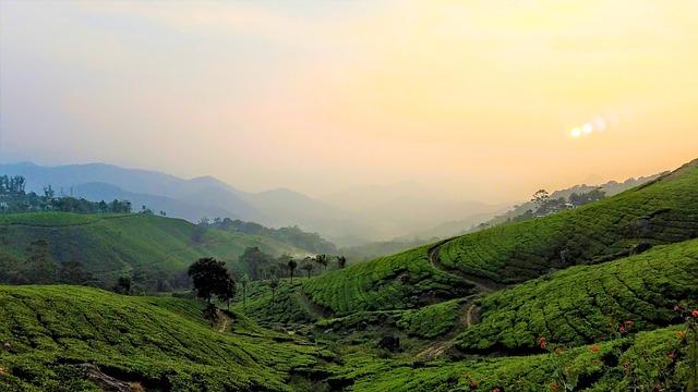 Tee-Plantage