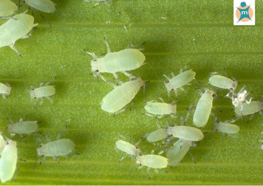 Blattläuse: Schädlinge im Garten