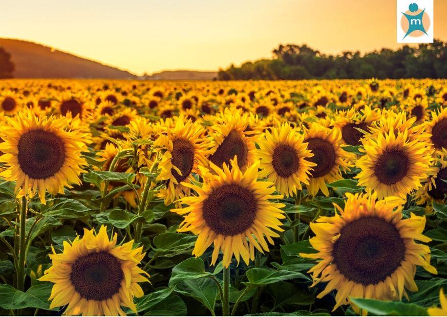 Sonnenblumenfeld