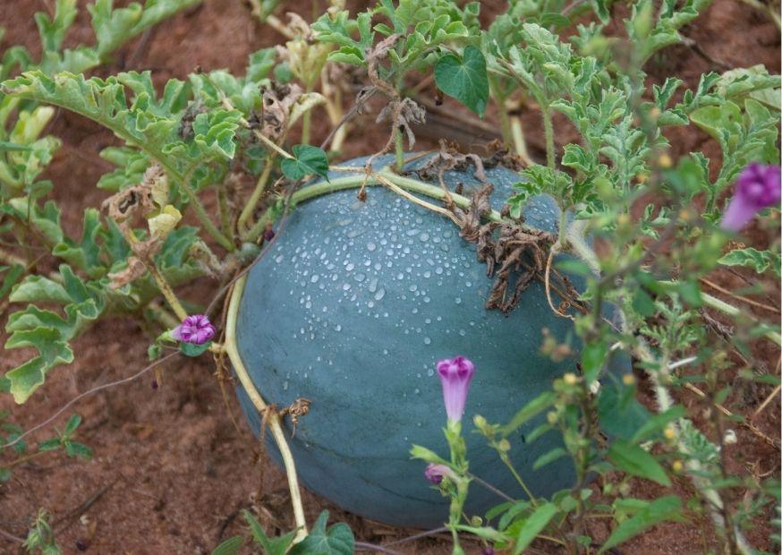 Anbau: Wassermelone